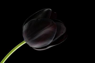 siyah-lale